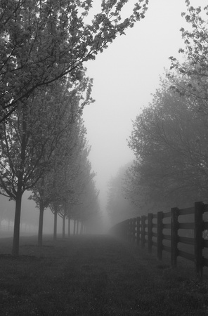 Black and white photograph of morning fog on road with line of blossoming trees and fence;