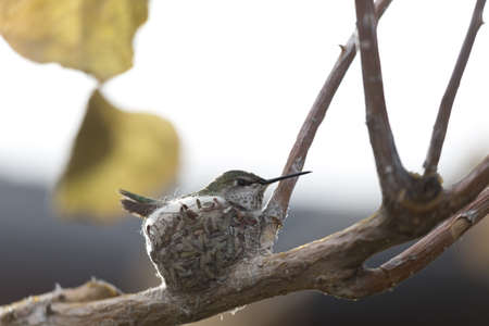 Hummingbird sits on its tiny nest made of leaf bits and spider webs