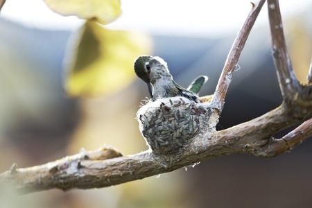 Hummingbird checks on its hatching egg while sitting on its tiny nest made of leaf bits and spider webs