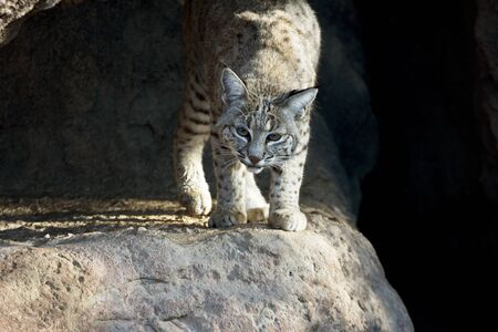 Bobcat crouches and moves to front of cave entrance.  Outdoor location is Cat Canyon of Arizona Sonora Desert Museum. Copy space to dark on right or to left in shadowed cave space.  Stock Photo