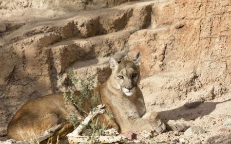 Mountain lion, head up and golden eyes alert, lies on rocky slope; copy space on rocks; horizontal image; location is Arizona Sonora Desert Museum, Tucson, Arizona, USA;