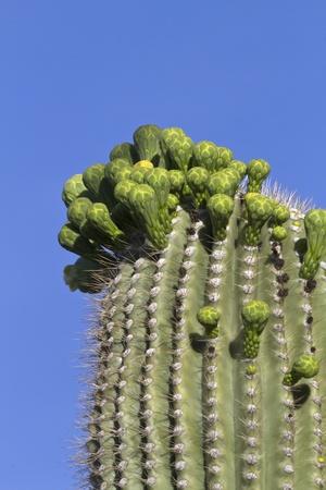 carnegiea: Flower buds on saguaro cactus  Carnegiea gigantea  in Saguaro National Park, Cactus Forest Loop Drive, Tucson, Arizona; Saguaro blossom is Arizona
