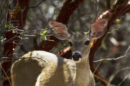 shadowed: Alert deer, eyes liquid and ear perked up and out, watches from the shadowed protection of trees in Ramsey Canyon, Arizona, an area famed for its hummingbirds.