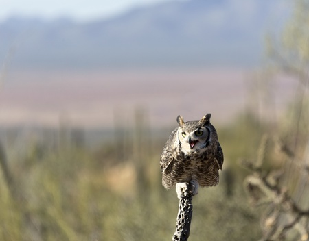 cholla: Owl perches on dried cholla branch at Arizona-Sonora Desert Museum