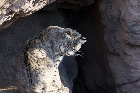 sonora: Bobcat sits in a relaxed, feline position in the natural setting of Cat Canyon at the Arizona Sonora Desert Museum