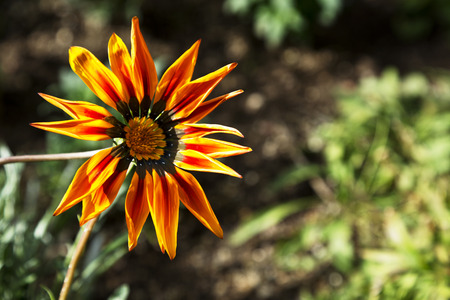 Bright orange daisy in Southwest garden shines with fresh, dazzling colors.  Copy space on right.