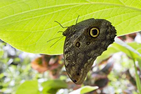 eyespot: Sunlit leaf serves as umbrella shielding giant owl butterfly. Eyespot markings provide natural camouflage.  Location is Tucson Botanical Gardens Stock Photo