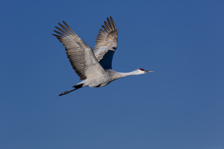 sandhill crane: Sandhill crane in flight against clean blue sky, flying with large wings open, long legs straight behind, and red field mark on head visible. Stock Photo