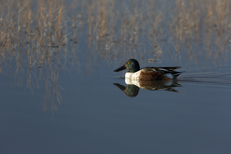 apache: Northern shoveler paddles with reflection in blue water of Bosque del Apache National Wildlife Refuge, New Mexico.
