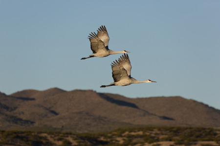 2 november: Pair of wild sandhill cranes fly together against rugged New Mexico