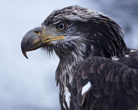 Powerful golden eagle in the wild along the banks of the Chilkat River in Haines, Alaska. Golden eagle is national bird of Mexico. photo