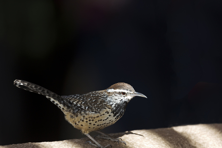 shadowed: Cactus wren, a species native to the Southwest, perches in the shadowed sunlight on wall.  Bird is a common species in the Sonoran desert of Arizona, USA.