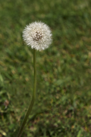 Fluffy seed head of dandelion growing on suburban lawn in vertical photograph Stock Photo