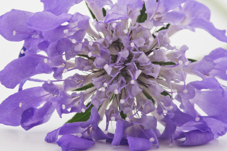 sepals: Macro image of purple and lavender hues of scabiosa blossom, a pincushion, perennial flower that attracts butterflies.  Close up creates beautiful, multiple petals and plant parts background image.
