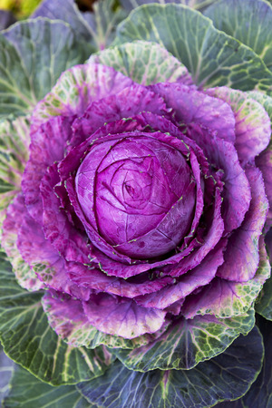 brightness: Outdoor planting displays a brightly colored ornamental cabbage adding practical, winter color to landscaping.  Popular winter annual adds texture and brightness to garden bed and fall planting scheme.
