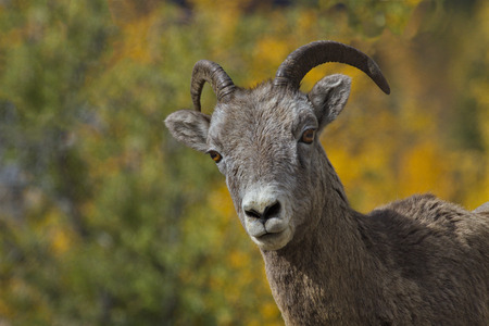 anthropomorphic: Selective focus on cocked head of bighorn sheep ewe in Canadian Rockies at Medicine Lake in Jasper National Park in Alberta province.  Amusing, anthropomorphic image of strategic business interest and inquiry. Stock Photo