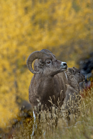 Autumn gold background with selective focus on bighorn sheep ram and lamb in Canadian Rockies.  Location is on slope of Medicine Lake in Jasper National Park in Alberta province.  Conceptual business image with suggestion of strategic decisions made to pr Banco de Imagens