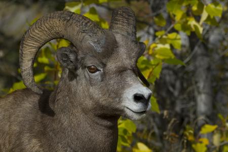 Bighorn sheep ram stands alert against intrusion.  Location is slope on Maligne Lake Road at Medicine Lake in Jasper National Park, Alberta, Canada.