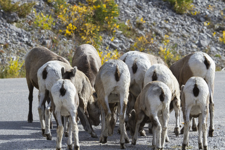flocking: Bighorn sheep flock together with rumps visible.  Location is on Maligne Lake Road along Medicine Lake in Jasper National Park in Alberta, Canada.  Amusing representation of group behavior, flocking, or concept of followers.