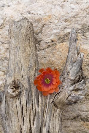 Single, orange flower is sharp, metaphoric contrast on dead saguaro wood.  Location is Tucson, Arizona in America's Southwest. Flower is blossom of hedgehog cactus. Stock Photo - 60894273
