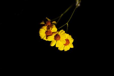 Elegant black background with  sesert brittle bush blossoms and fresh dew Stock Photo