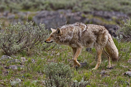 Coyote on the prowl along Slough Creek Campground Road in Yellowstone National Park, Wyoming, USA. Season is spring in May, 2016.