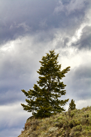 distantly: Evergreen tree stands on mountain slope edge along Beartooth Highway on Lily Lake Campground Road near Yellowstone National Park in Wyoming, USA. Single tree is dominant with second tree distantly visible.