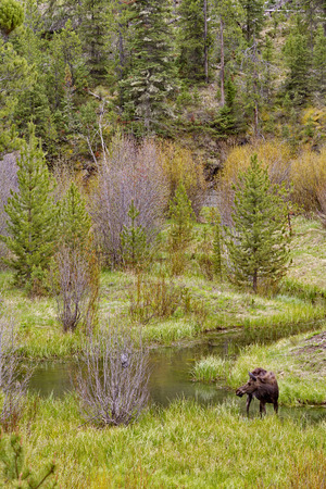 Moose stands in marshy stream along Middle Creek of Shoshone National Forest in Wyoming, USA.  Location is off Rt. 16 near Yellowstone National Park.  Season is spring in May, 2016.