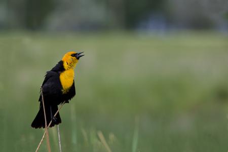 actividades recreativas: Amarillo encabezados por mirlo canta en plumaje. La ubicación es Farmington Área de Gestión de Aves en Utah, parte de la Reserva de Aves Playeras del Hemisferio Occidental Gran Lago Salado. Las actividades turísticas y recreativas incluyen la observación de aves, fotografía, y Hun