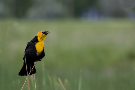 Yellow-headed blackbird in breeding plumage sings.  Location is Farmington Waterfowl Management Area in Utah, part of the Great Salt Lake Western Hemisphere Shorebird Reserve.  Tourism and recreational activities include birdwatching, photography, and hun