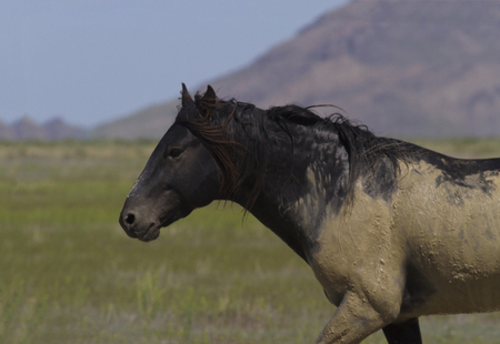 smeared: Dark wild stallion smeared with mud after rolling in wet dirt and sand around waterhole at Onaqui Horse Management Area in Utah. Stock Photo