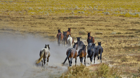 Sand is kicked up by departing herd of dusty, wild horses at Onaqui Herd Management Area in Utah.  Horizontal photo of classic symbol of Americas West.