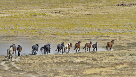 Herd of wild horses run in a line in Utahs Onaqui Horse Management Area managed by the federal Bureau of Land Management.  Lead stallion at front of line. Their hooves stir up dry sand.  Horizontal image withe copy space and no people.