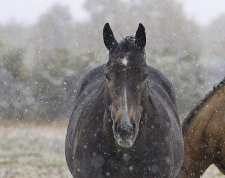 Horse stands quietly in gentle snowfall.  Location is Alberta, Canada, in farm fields near Pincher Creek and Waterton National Park.  Date is September 12, 2016.