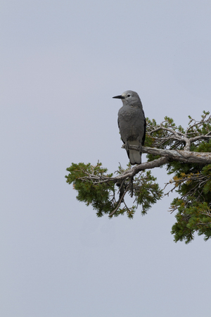 evergreen branch: Clarks Nutcracker, a wild bird, perches on evergreen branch in Crater Laker National Park in Oregon, USA.  Vertical photograph with copy space on clear sky. Foto de archivo