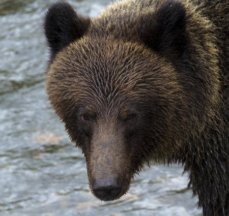 Fierce stare of grizzly bear in British Columbia, Canada, is reflection of beautiful, frightening, natural intensity of a large predator.