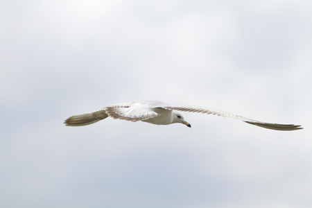 Single seagull soars and glides in sky.  Sea bird has face visible, wings open in flight.  Copy space available in horizontal photograph.