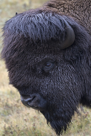 Bison head portrait with green grass background.  Location is the Bison Paddock autodrive of Waterton National Park in Alberta, Canada.  Date is September 11, 2016. Stock Photo