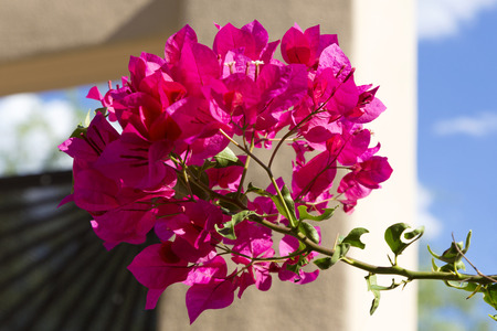 Focus on bougainvillea blossom with blue sky, Southwestern stucco, and black steel visible behind.  Flowers nickname is paper flower.  It is a popular, tropical and sub-tropical, home landscaping plant.