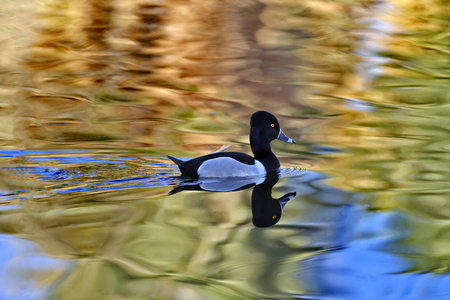 pima: Male ring-necked duck swims with reflection in rippling water.  Gold eye and field markings visible.  Location is Agua Caliente Regional Park in Pima County of Tucson, Arizona, on February 24, 2017.