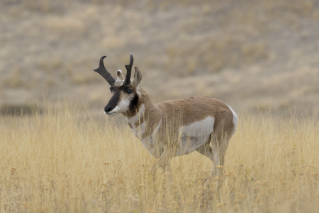 Single pronghorn antelope stands in golden grasslands of National Bison Range of Montana, USA. Sanctuary created to protect American bison is part of the nations Wildlife Refuge System.  Horizontal photograph with copy space.