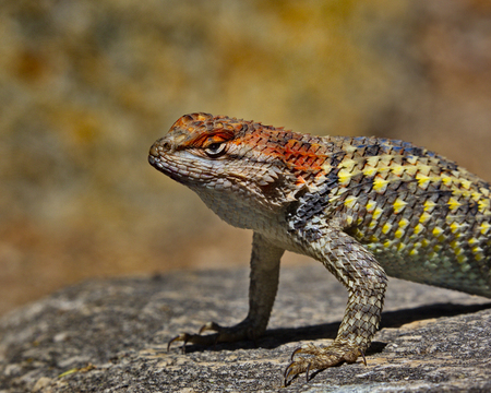 Close up view of Spiny Lizard, genus Sceloporus, on rock in Tohono Chul Park, Tucson, Arizona. Stock Photo