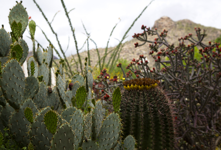 Assortment of cactus in natural display with Catalina Mountains behind.  Location is Tucson, Arizona. Xeriscape landscaping minimizes water use.