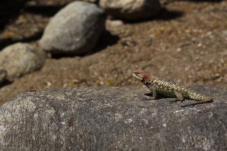用心深いハリトカゲ ネイティブ爬虫類トホノ チュル公園、アメリカのアリゾナ州ツーソンのソノラ砂漠の南西の乾燥。