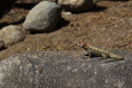 Watchful spiny lizard, native reptile of Sonoran Desert, in Tohono Chul Park, Tucson, Arizona, in America's arid Southwest. Banco de Imagens - 79158042
