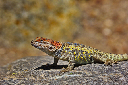 Spiny Lizard, genus Sceloporus, alertly stands on rock in Tohono Chul Park, Tucson, Arizona in Americas Southwest.