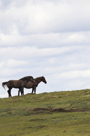 Wild horses on hill top in Theodore Roosevelt National Park, North Dakota. Vertical photograph with copy space in sky area.