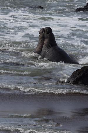 La bataille des taureaux d'éléphants dans Ocean Ocean Surf. L'emplacement est Piedras Blancas Elephan Seal Rookery en Californie.
