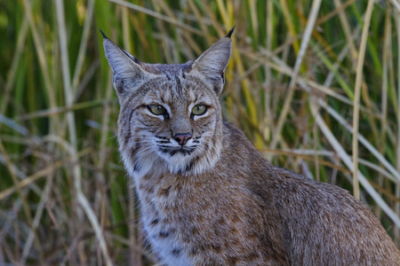 Bobcat with regal look against autumn reeds at Sweetwater Wetlands in Tucson, Arizona, on November 19, 2017.
