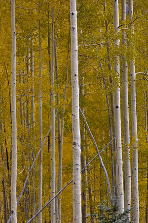 Autumn aspen gold along the Million Dollar Highway near Silverton in Colorado, United States.  Vertical image and seasonal background.
